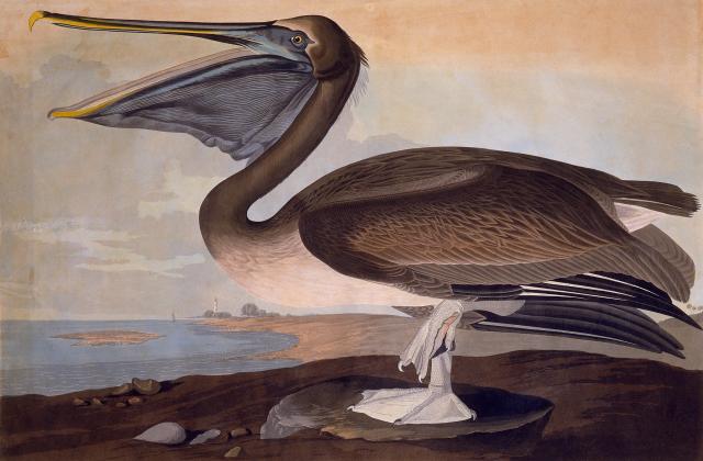 Brown Pelican. Plate 171, John James Audubon's Birds of America, 1833. Louisiana State Museum 01770.171.