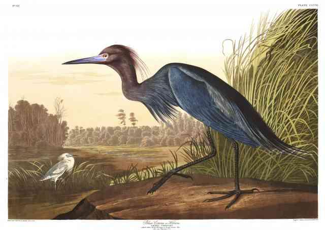 Blue Crane or Heron - Audubon