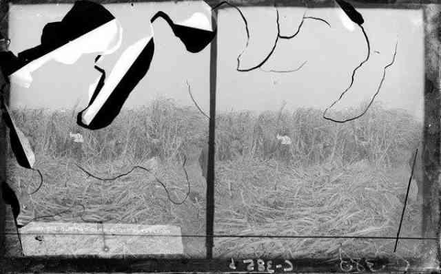 Sugar Cane Field, Mugnier 1880-1920 LSM 09813.810.1 (C-385.2)