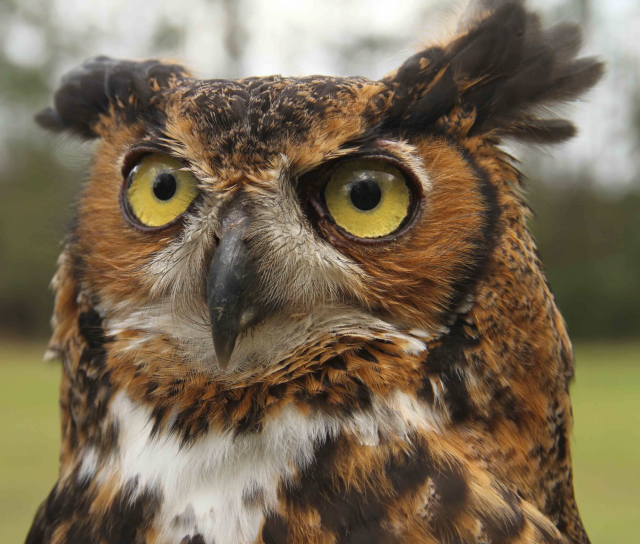 Louisiana's Raptors: Their Role in the Natural World